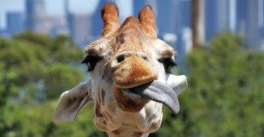 Rezept für eine leckere Giraffencreme