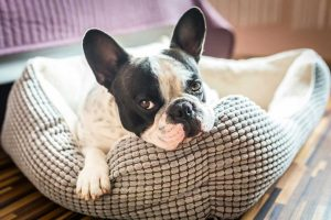 Ferrum metallicum für Hunde bei Schwäche und Störungen im Blutbild