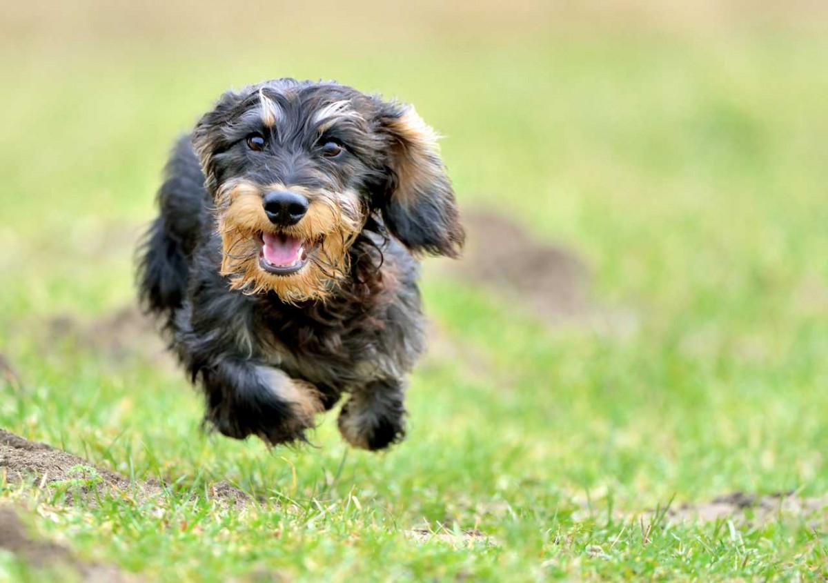 Ruta Graveolens für Hunde bei Erkrankung der Sehnen und Bänder