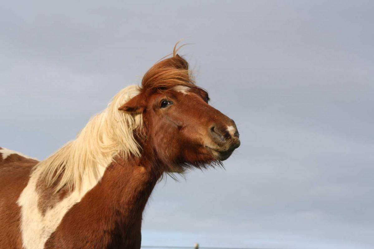 Allium cepa für Pferde mit Heuschnupfen