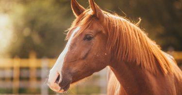 Wie Sie Arnica für Pferde nach starken Belastungen einsetzen