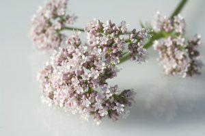 Nutzen Sie diese Heilpflanzen gegen Stress