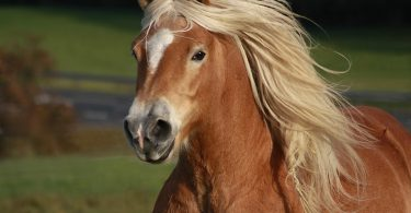 Wunden beim Pferd mit Homöopathie versorgen