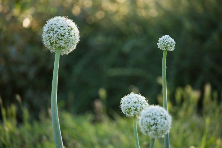 Allium cepa in der Schwangerschaft