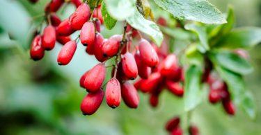 Bei welchen Beschwerden hilft Berberis vulgaris?