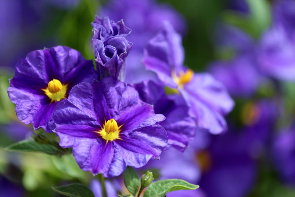 Welches Solanum bei welchen Beschwerden hilft