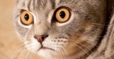 Ferrum phosphoricum für die Katze bei Entzündungen