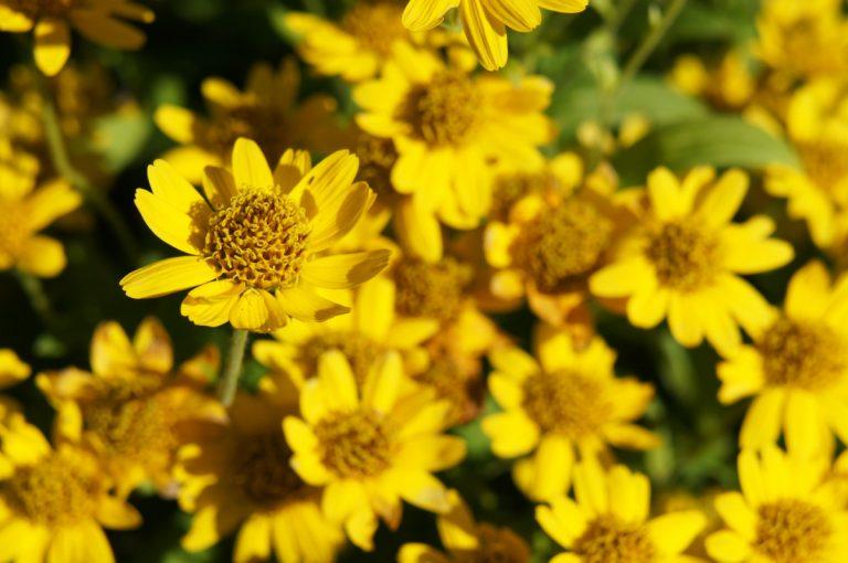 Arnica Montana - die heilende Naturschönheit aus den Bergen