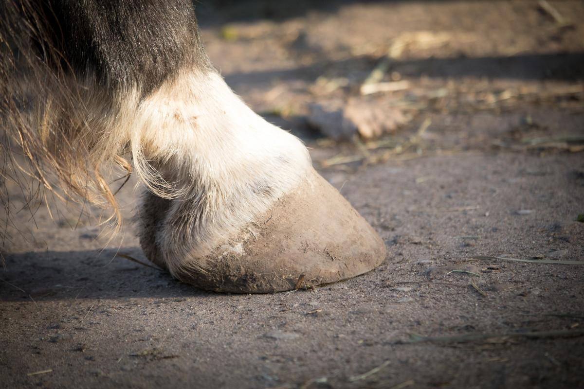 Hufrehe beim Pferd mit Schüßlersalzen unterstützend behandeln