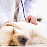 Schilddrüsenunterfunktion: Hunde mit Homöopathie behandeln