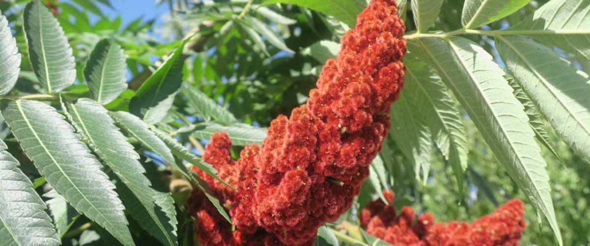 Rhus: Verschiedene Pflanzen mit heilender Wirkung