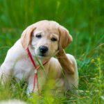 Allergien durch Flohbisse beim Hund homöopathisch behandeln