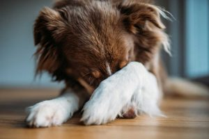 Übermäßige Angst beim Hund mit Homöopathie regulieren
