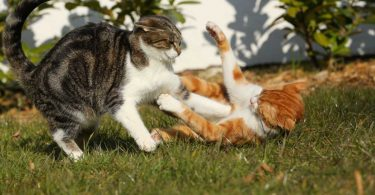 Dominantes Verhalten bei Katzen homöopathisch regulieren