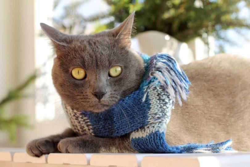 Halsschmerzen und Rachenentzündung bei der Katze homöopathisch behandeln