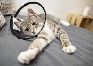 Eiterung bei der Katze – Homöopathisch behandeln