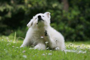 Wie Sie Allergien bei Hunden homöopathisch behandeln können