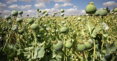 Opium für Katzen bei Verdauungsproblemen oder bei Altersschwäche