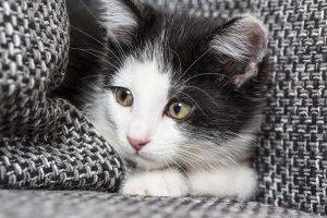 Sabadilla für ängstliche Katzen