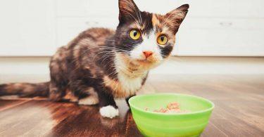 Gastritis – Magenschleimhautentzündung bei der Katze