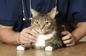 So setzen Sie Natrium sulfuricum bei Katzen mit Husten oder Durchfall ein