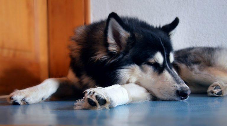 Mit diesen 4 homöopathischen Mitteln wird der Knochenbruch beim Hund behandelt