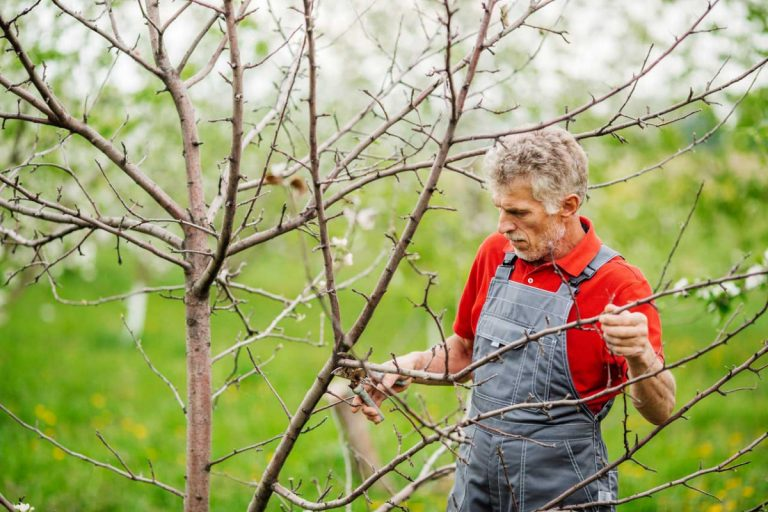 Apfelbaum schneiden: Diese 4 Punkte sind zu beachten