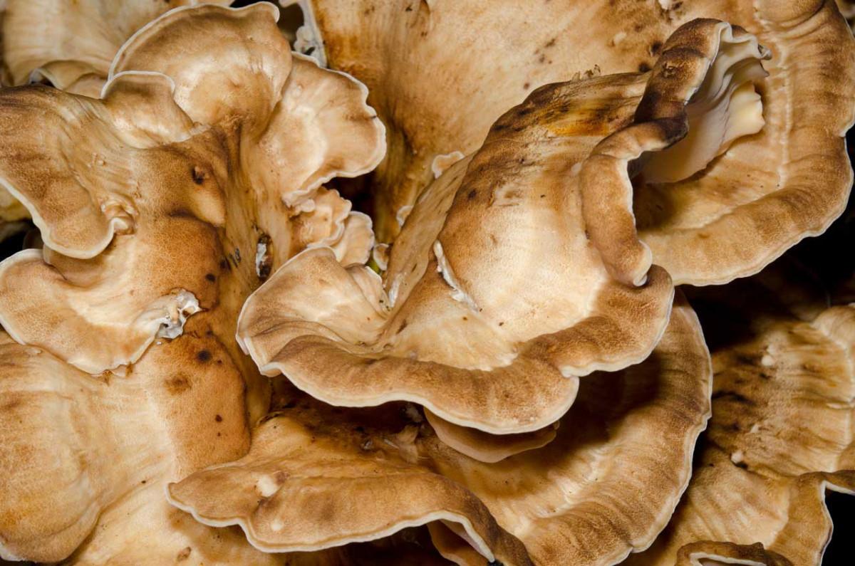 Austernseitling oder Eichhase und seine vielfältigen Heilwirkungen