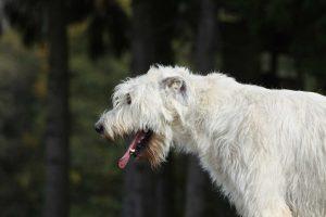 Spongia für Husten bei dem Hund