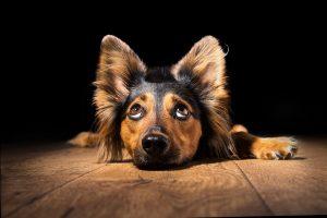 Geräuschempfindliche Hunde mit diesen 7 homöopathischen Mitteln unterstützen
