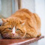 Ginkgo biloba für Katzen mit Übergewicht