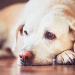 Bindehautentzündung beim Hund und bei der Katze mit Schüßlersalzen behandeln