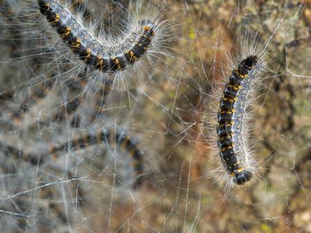 Gefährlich für Mensch und Tier: der Eichenprozessionsspinner