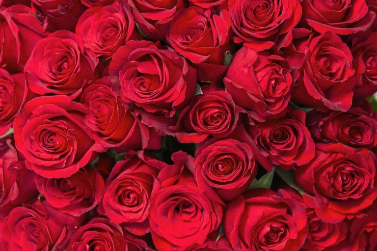 Rosenöl als Heilmittel