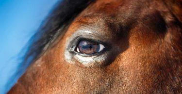 So behandeln Sie Bindehautentzündungen bei Pferden mit klassischer Homöopathie
