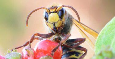 Bienen, Wespen & Co: So beugen Sie Insektenstichen vor