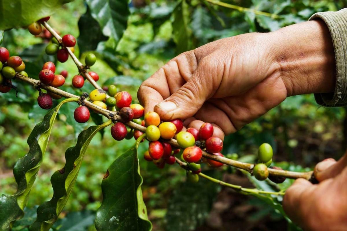 Das homöopathische Mittel Coffea