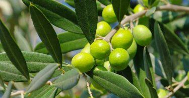 So wirkt Olivenblattextrakt bei Bluthochdruck