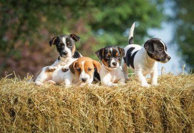 Welpenwahl – So finden Sie den richtigen Züchter