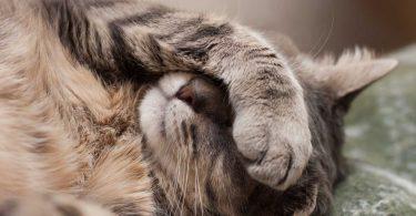 Solidago: Die homöopathische Nierenstärkung für Katzen