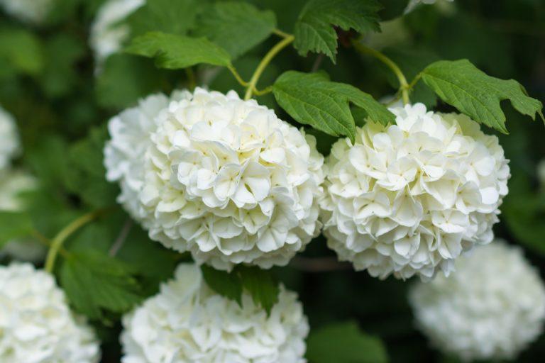 Viburnum – duftiger Schneeball als Heckenpflanze