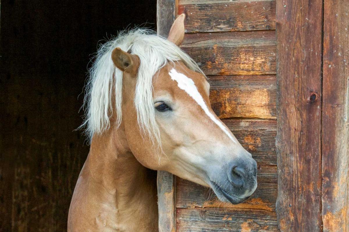 Arsenicum iodatum bei chronischer Bronchitis beim Pferd