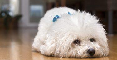 Angst beim Hund homöopathisch regulieren