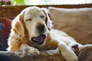 Chelidonium majus hilft bei Lebererkrankungen des Hundes