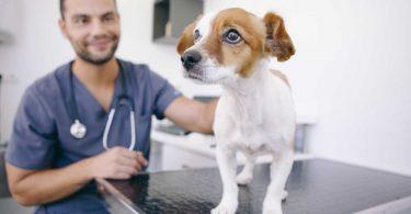 Homöopathie für Hunde: Aconitum napellus oder der Eisenhut