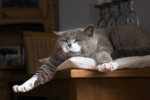 Ruta für Katzen für Sehnen- und Bändererkrankungen