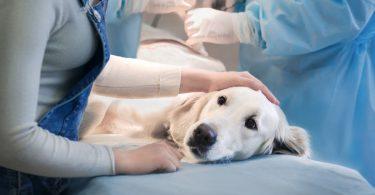 Schlechte Wundheilung nach Operation beim Hund