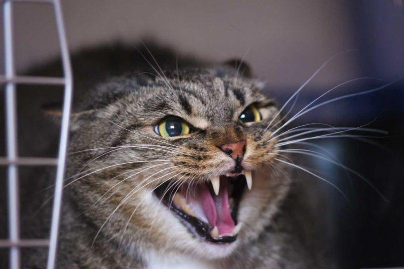Verhaltenstherapie bei Katzen durch homöopathische Mittel unterstützen