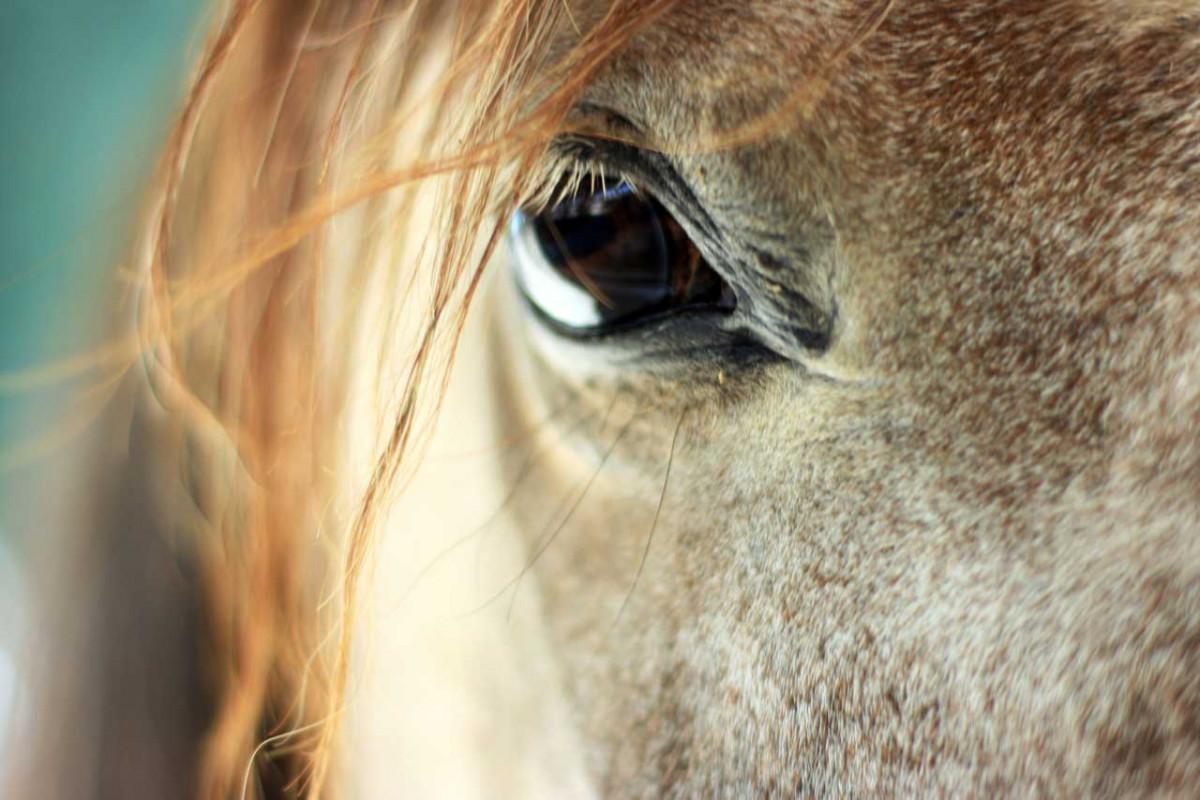 Bindehautentzündung beim Pferd homöopathisch heilen