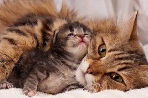 Werdende Katzenmütter homöopathisch unterstützen bei Rolligkeit, Wehen und Geburt